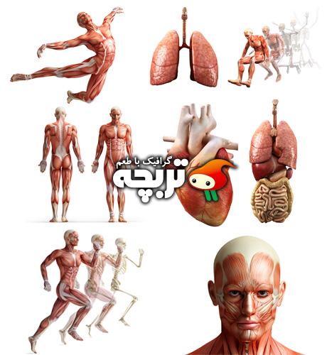 دانلود تصاویر با کیفیت آناتومی بدن انسان Human Body Anatomy