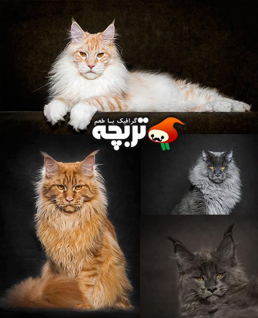 عکاسی استودیویی از گربه های زیبا توسط Robert Sijka