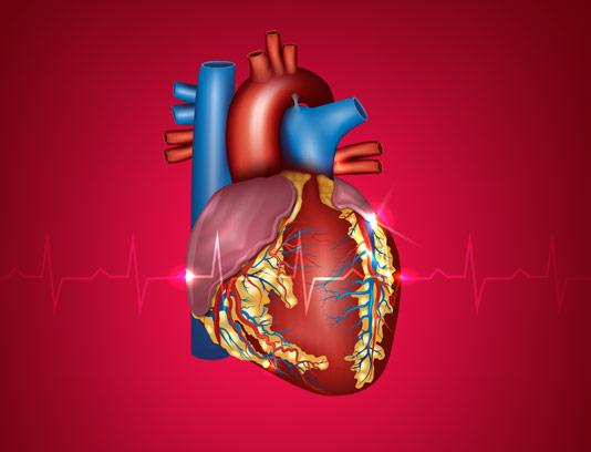 وکتور طرح قلب با جزئیات و مویرگ ها با زمینه ی نوار قلب