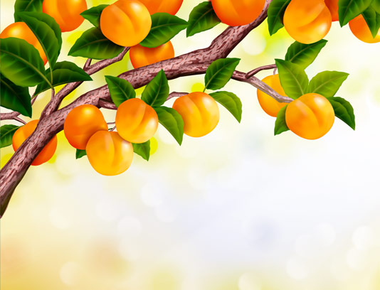 وکتور زردآلوی تازه بر روی درخت