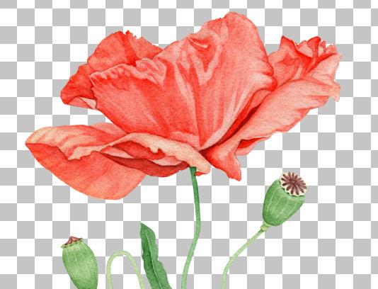 تصویر دوربری شده گل خشخاش