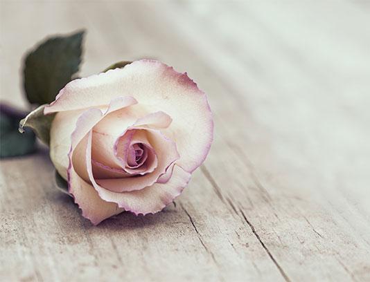 عکس با کیفیت گل رز صورتی