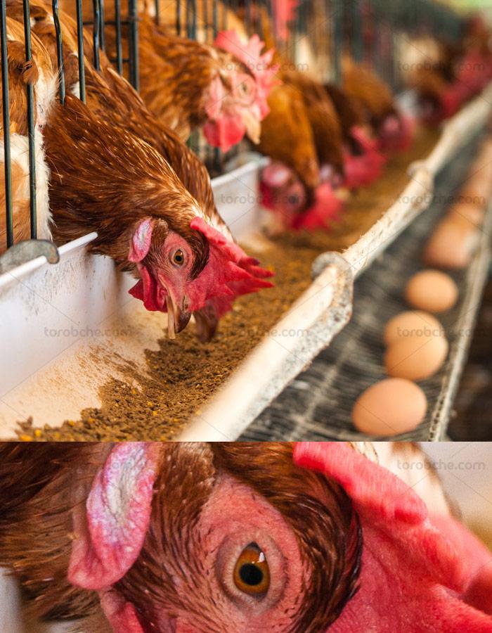 عکس با کیفیت مرغداری صنعتی و مرغ های در حال تغذیه