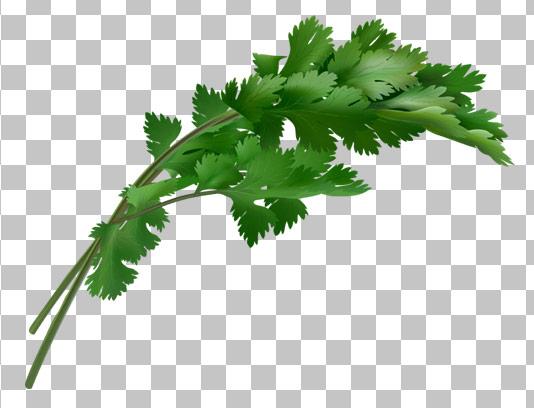 عکس با کیفیت دوربری شده سبزی گشنیز PNG