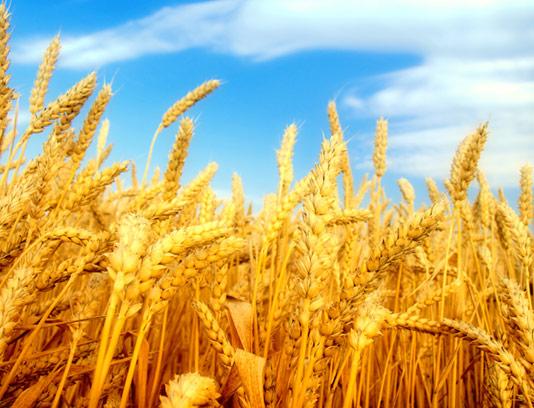 عکس خوشه های طلایی گندم و گندمزار با کیفیت عالی