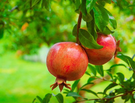 عکس با کیفیت انار تازه روی درخت سبز