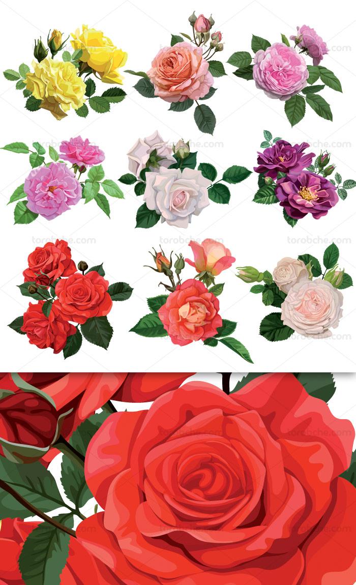 وکتور طرح انواع گل رز در رنگ های مختلف