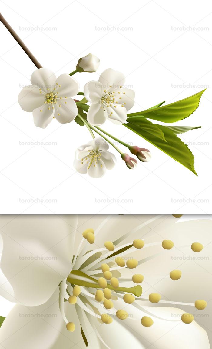 وکتور لایه باز شکوفه های بهاری سفید رنگ