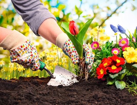 عکس با کیفیت کاشت گل لاله در خاک