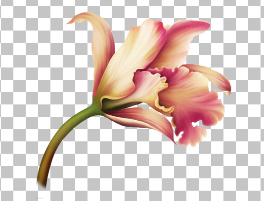 عکس دوربری شده گل لیلیوم صورتی