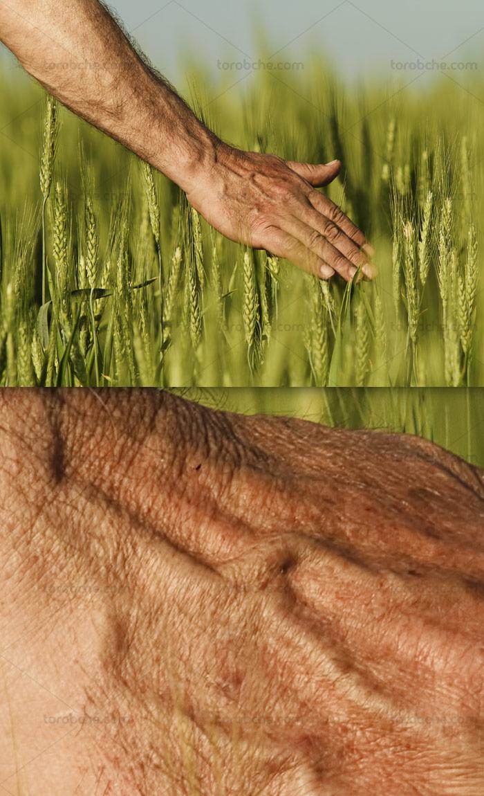 عکس با کیفیت مزرعه و گندمزار با خوشه های سبز