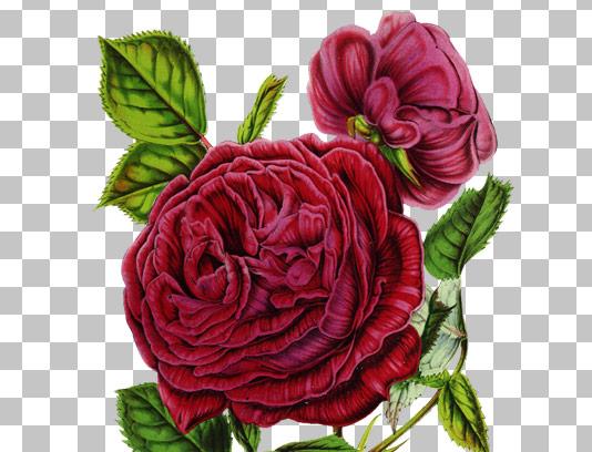 عکس با کیفیت گل رز قرمز دوربری شده
