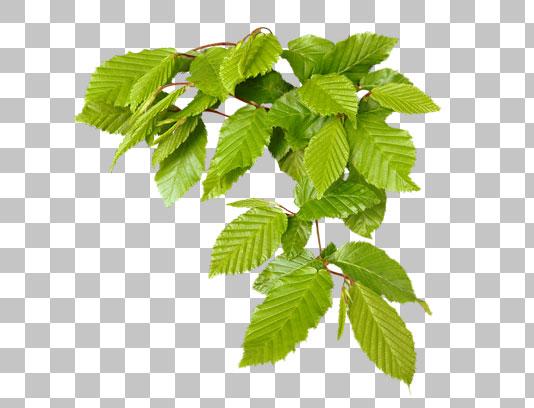 عکس دوربری شده با کیفیت برگ های سبز درخت
