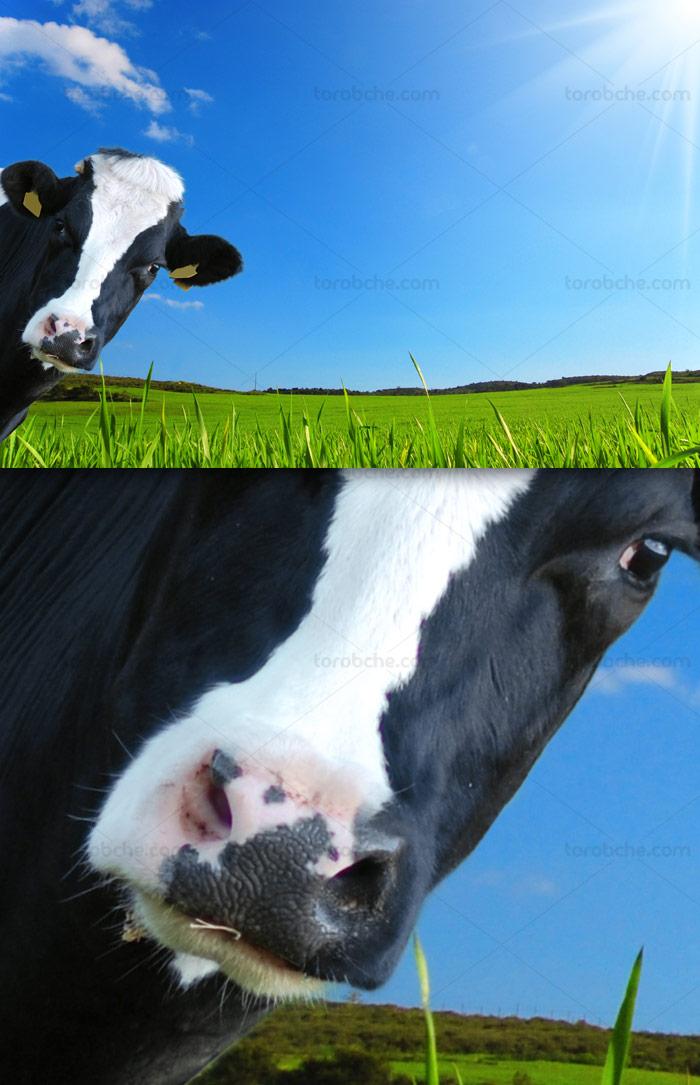 عکس با کیفیت گاو در مزرعه سبز