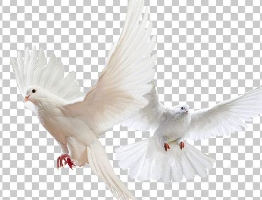عکس کبوتر سفید بدون پس زمینه