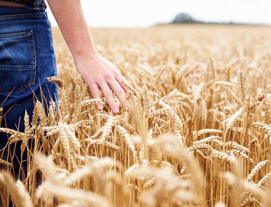عکس با کیفیت گندمزار و مزرعه
