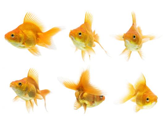 عکس با کیفیت ماهی قرمز