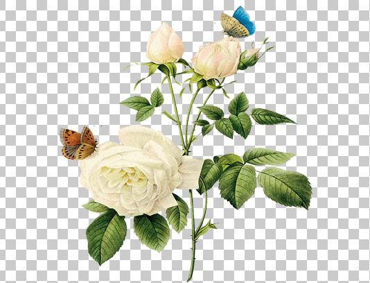 عکس دوربری شده گل رز با پروانه