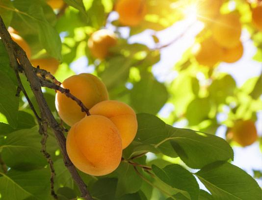 عکس با کیفیت درخت زردآلو