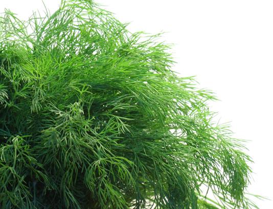 عکس با کیفیت سبزی شوید