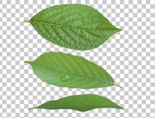 عکس دوربری شده برگ سبز درخت