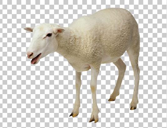 عکس دوربری شده گوسفند