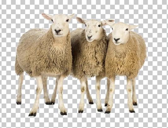 عکس دوربری شده گوسفندان
