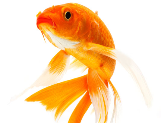 عکس ماهی قرمز خلاقانه