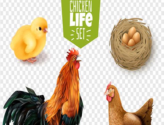 وکتور مرغ و خروس با کیفیت