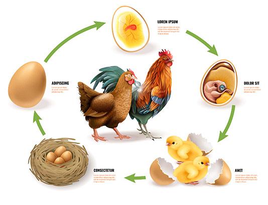 وکتور مراحل تولید مرغ و تخم مرغ