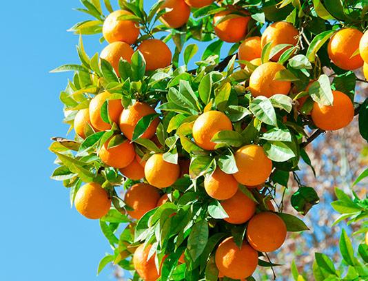 عکس درخت پرتقال با کیفیت