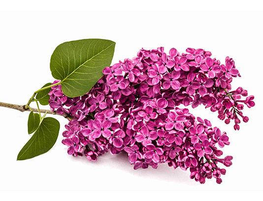 عکس گل یاس بنفش با کیفیت