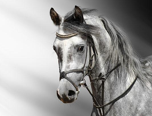 عکس سیاه سفید اسب با کیفیت