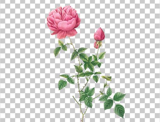 عکس دوربری شده گل رز طرح آبرنگ