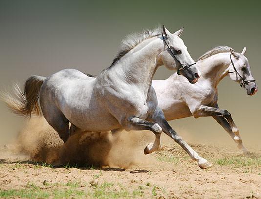 عکس اسب سفید دونده