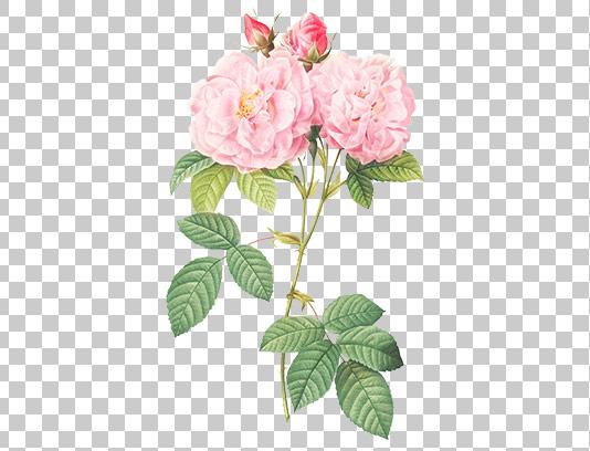 عکس گل دوربری شده صورتی رنگ
