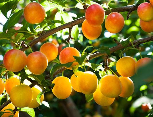 عکس درخت زردآلو با کیفیت