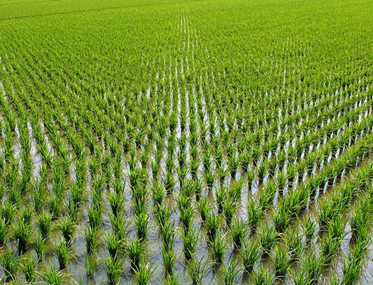 عکس شالیزار برنج زیبا