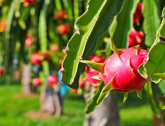 عکس با کیفیت میوه گل اژدها