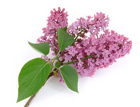 عکس گل سنبل با کیفیت