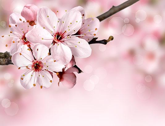 پس زمینه شکوفه های گیلاس