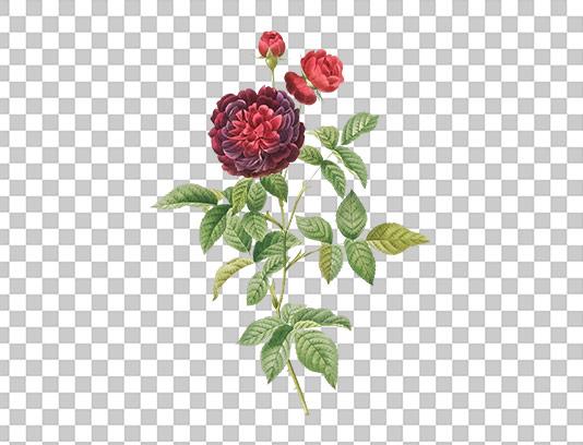 عکس دوربری شده گل سرخ