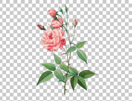 عکس دوربری شده گل رز