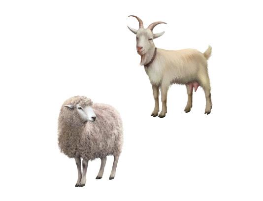 وکتور گوسفند و بز با کیفیت
