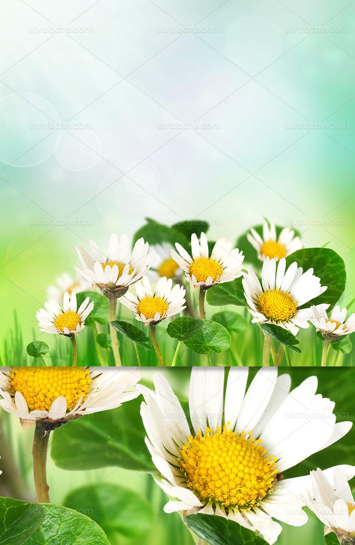 عکس با کیفیت گل بابونه
