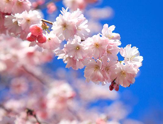 عکس شکوفه های گیلاس