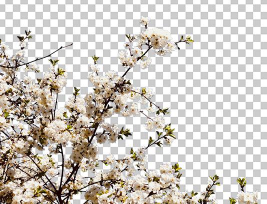 عکس دوربری شکوفه های بهاری