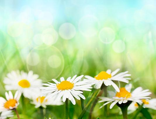 عکس گل بابونه با کیفیت