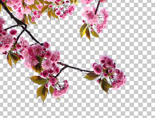 عکس شکوفه های بهاری صورتی