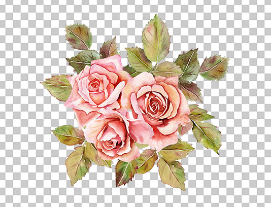 عکس گل رز دوربری شده